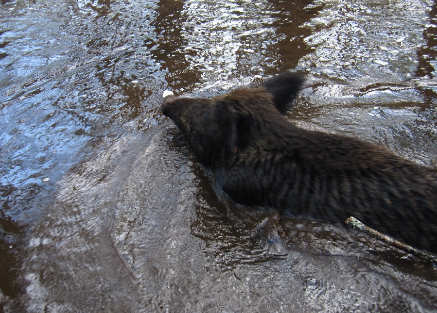 wild boar swimming